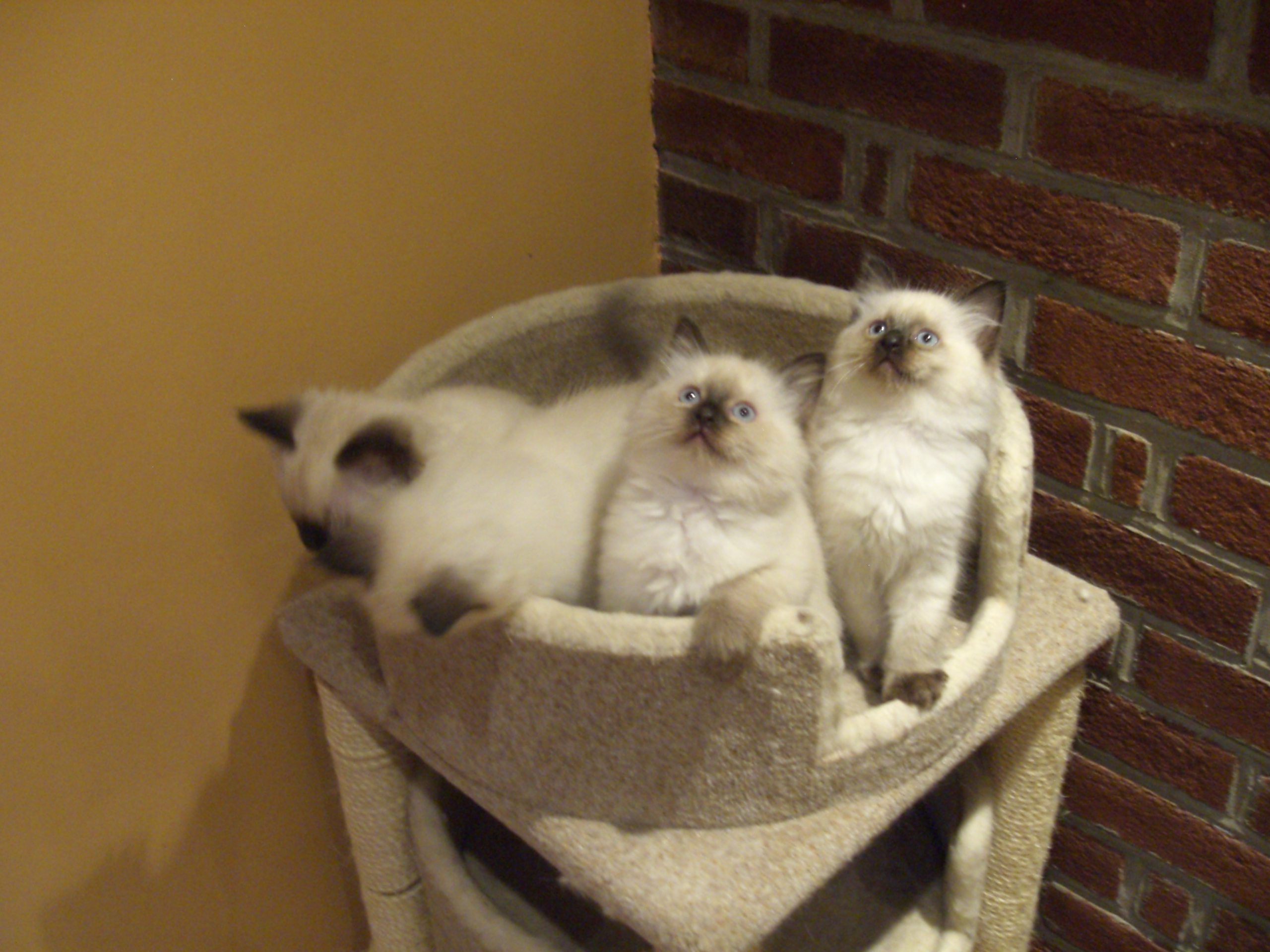 breeder archives kantial ragdolls leave a comment